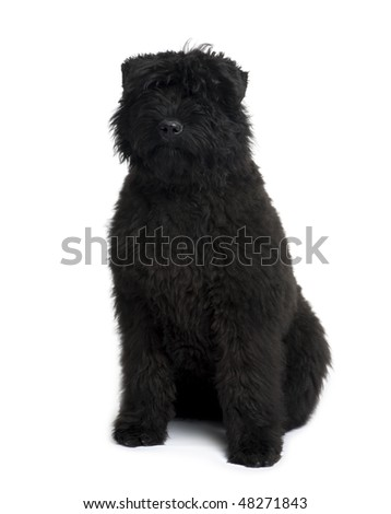 Bouvier des Flandres, 5 months old, sitting in front of white background - stock photo