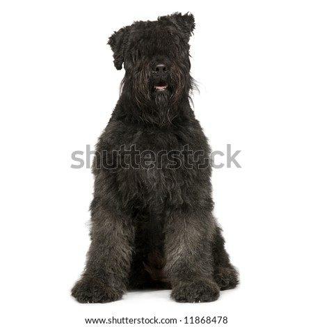 Bouvier des Flandres (2 years) in front of white background - stock photo