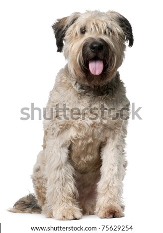 Bouvier des Flandres, 2 years old, sitting in front of white background - stock photo