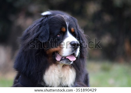 Bouvier dog on wooded background