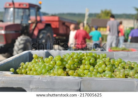 box filled with white grape in front of vintners  during grape harvest  - stock photo