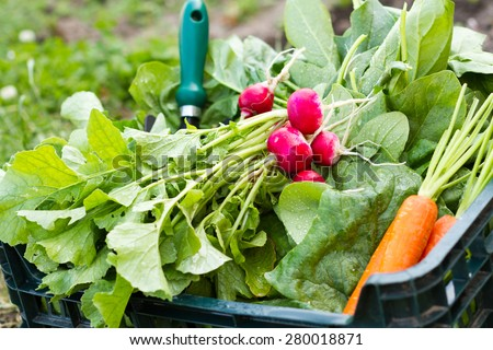 Box full of fresh organic vegetables from the garden specifically spinach carrots and radishes - stock photo