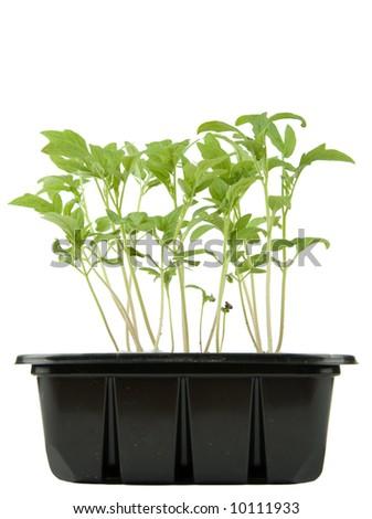 Box of tomato seedlings on white background - stock photo