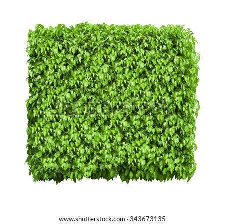 Box shaped bush isolated on white background - stock photo