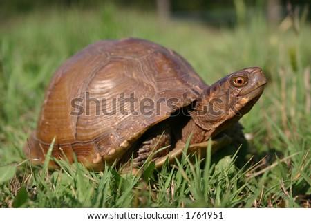 Box Turtle - stock photo