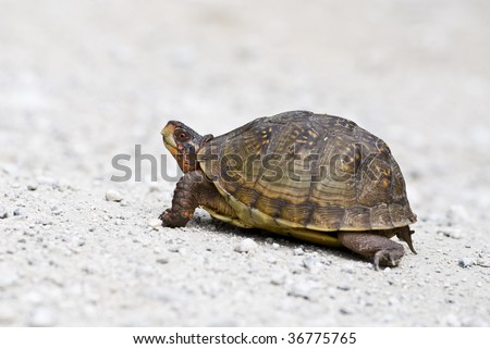 box turtle - stock photo