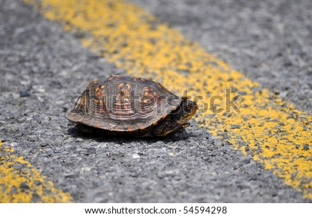 Box turtle in the middle of the road