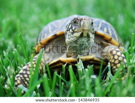 Box Turtle on grass - stock photo