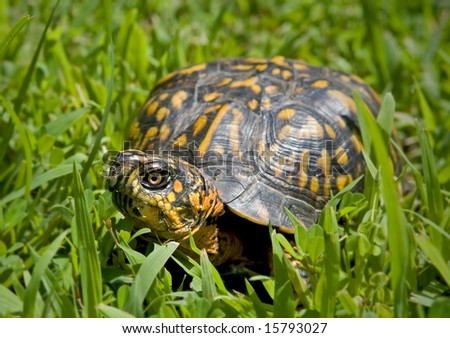 Box turtle sitting in a patch of grass. - stock photo