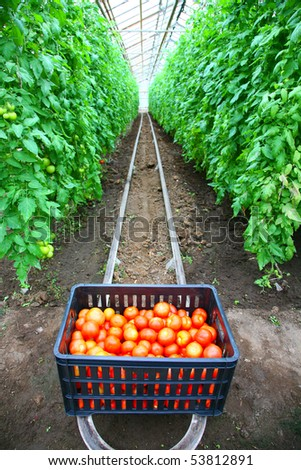 Box with tomatoes in a hothouse - stock photo