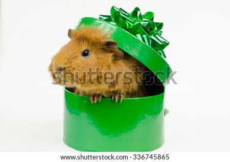 boxed guinea pig - stock photo