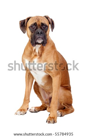 Boxer breed dog isolated on white background - stock photo