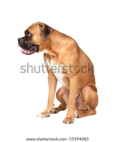 Boxer breed dog isolated on white background - stock photo