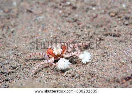 Boxer crab, pom pom crab _ Lybia tessellata - stock photo