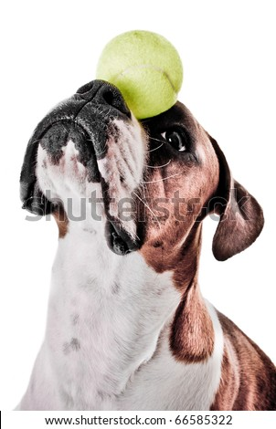 Boxer Dog Balancing Ball on Nose - stock photo