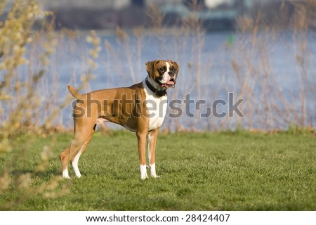 Boxer dog by water edge - stock photo