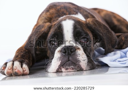 Boxer dog in a blanket at studio - stock photo