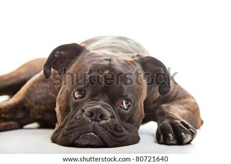 Boxer dog in studio - stock photo