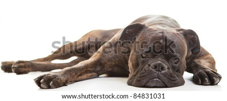 Boxer dog in studio