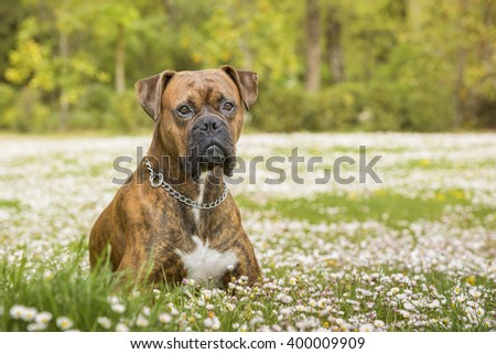 Boxer dog in the park