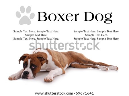 Boxer Dog Laying Down with text Space Above - stock photo