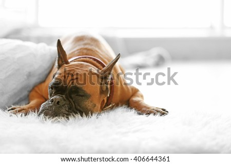 Boxer dog lying on the floor at home - stock photo