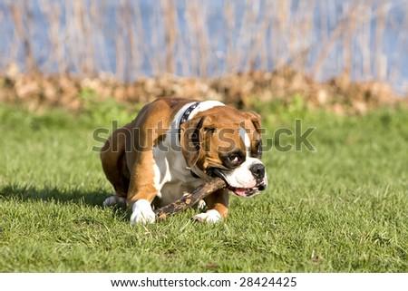 Boxer dog nibbling a cane - stock photo
