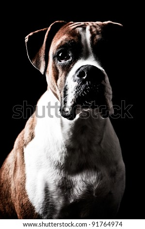 Boxer dog portrait on a black background - stock photo