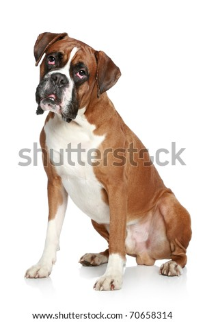 Boxer dog portrait on a white background - stock photo