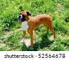 boxer dog race between nature playing - stock photo