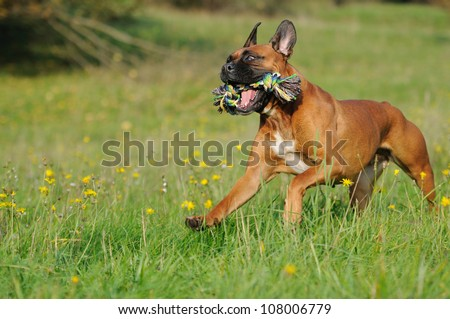Boxer Dog runs above the meadow - stock photo