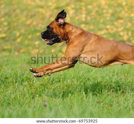 Boxer Dog runs above the meadow - stock photo