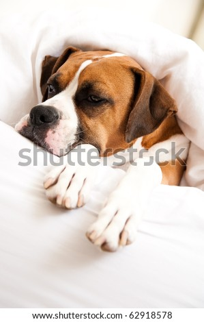 Boxer Dog Sleeping in Owner's Bed