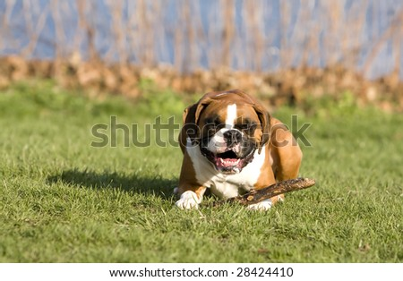Boxer dog smiling - stock photo