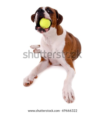 Boxer Dog with Ball - stock photo