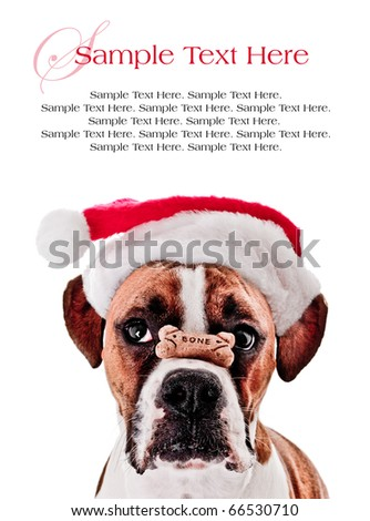 Boxer Dog with Bone on it's Nose Wearing Santa Hat and Space for Text Above - stock photo