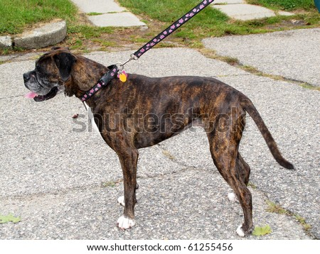 boxer dog with long tail - stock photo