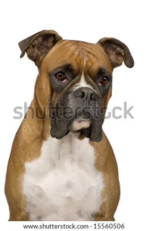 Boxer in front of a white background - stock photo