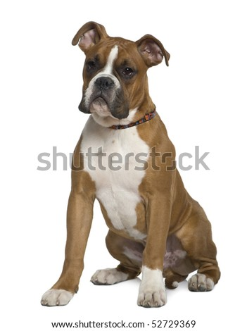 Boxer, 5 months old, sitting in front of white background - stock photo