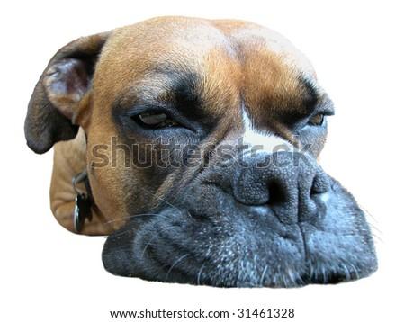 Boxer Muzzle Closeup - stock photo