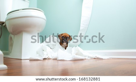 Boxer puppy playing in bathroom - stock photo