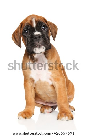 Boxer puppy sits in front of white background
