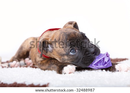 Boxer puppy with red ribbon as a collar, lying on a carpet and gnaw on toy - stock photo