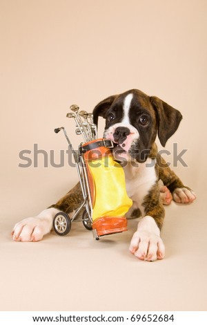 Boxer puppy with toy golf bag - stock photo