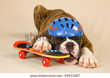 Boxer puppy with toy skateboard and helmet - stock photo