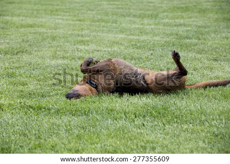 Boxer Shepherd mixed breed dog rolling in grass - stock photo