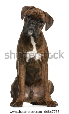 Boxer sitting in front of white background - stock photo