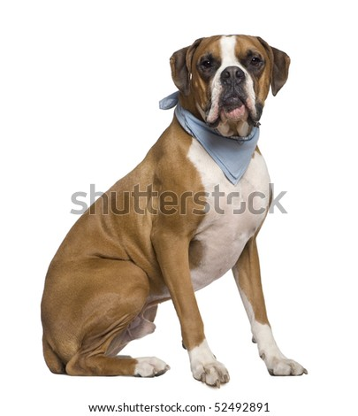 Boxer wearing handkerchief, 2 years old, sitting in front of white background