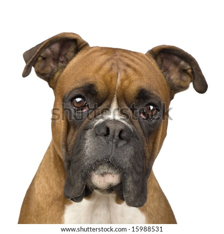 Boxer (2 years) in front of a white background - stock photo