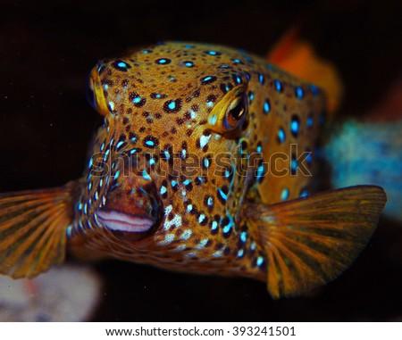 boxfish fish underwater photo - stock photo